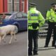 Rare white stag and Merseyside Police